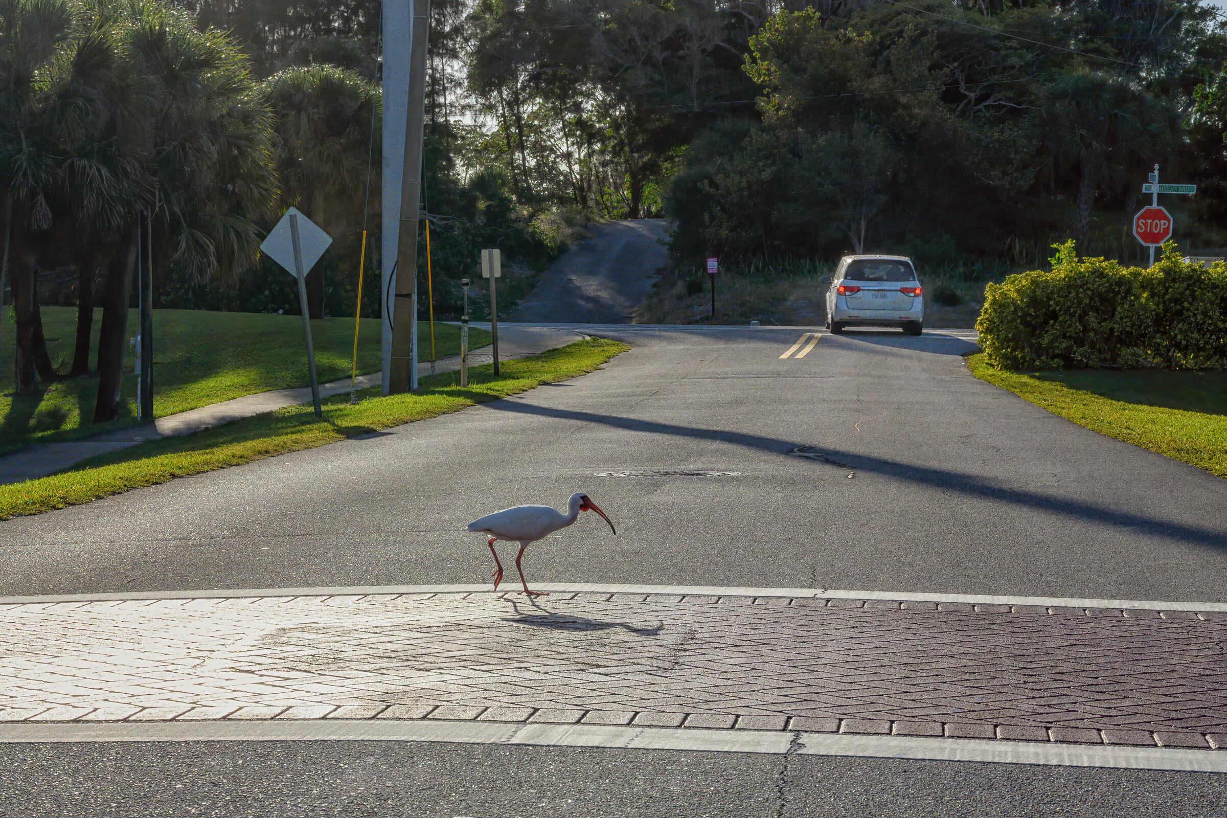 A White Ibis, with its long red beak outstretched, crosses a cross walk in the middle of a street. A white car with its rear lights visible is driving in the background.