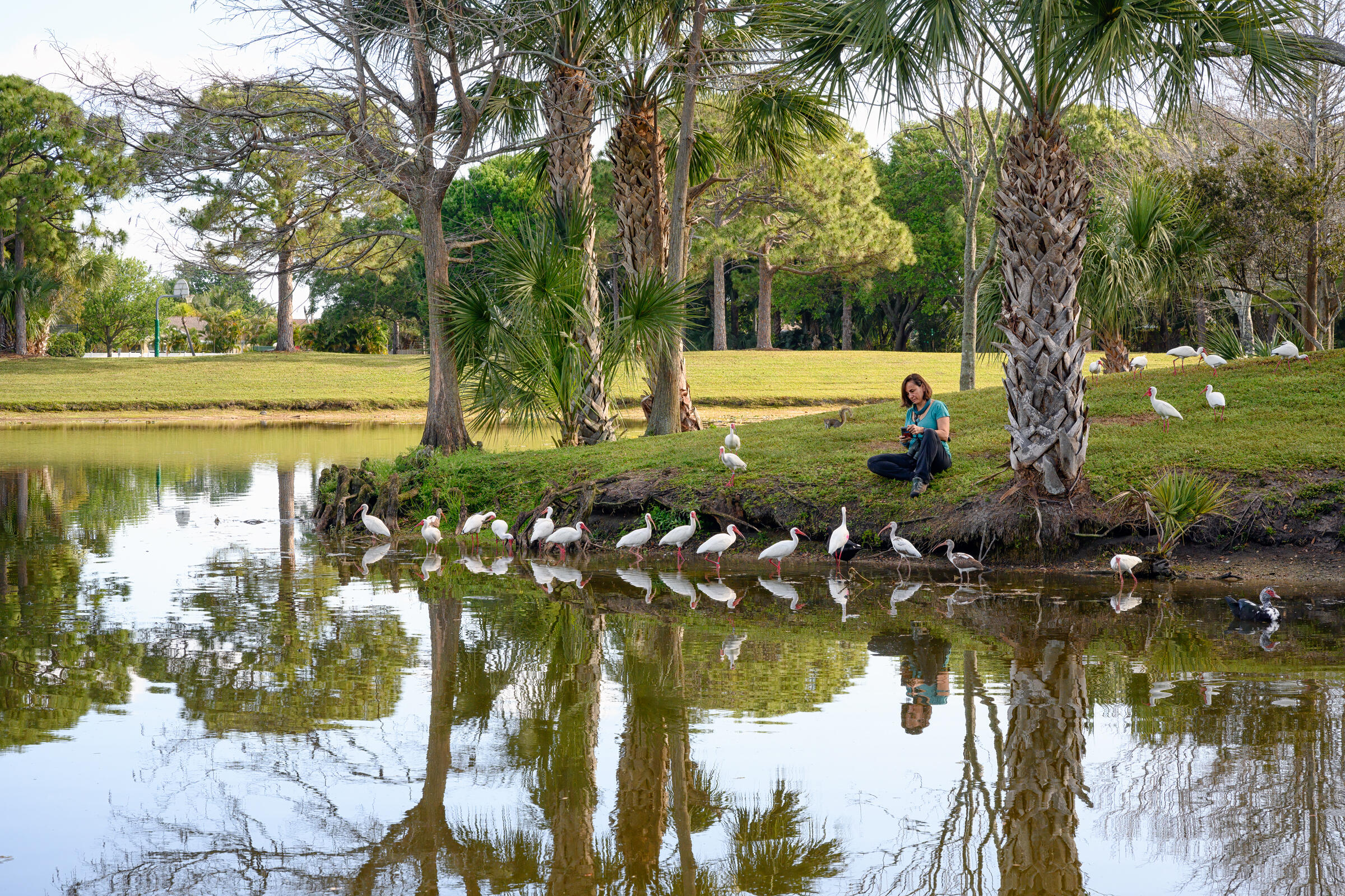 From across a pond, we see a woman crouched on a shore with about a dozen White Ibis lined up along the bank and a few more ibis scattered on the lawn behind her.
