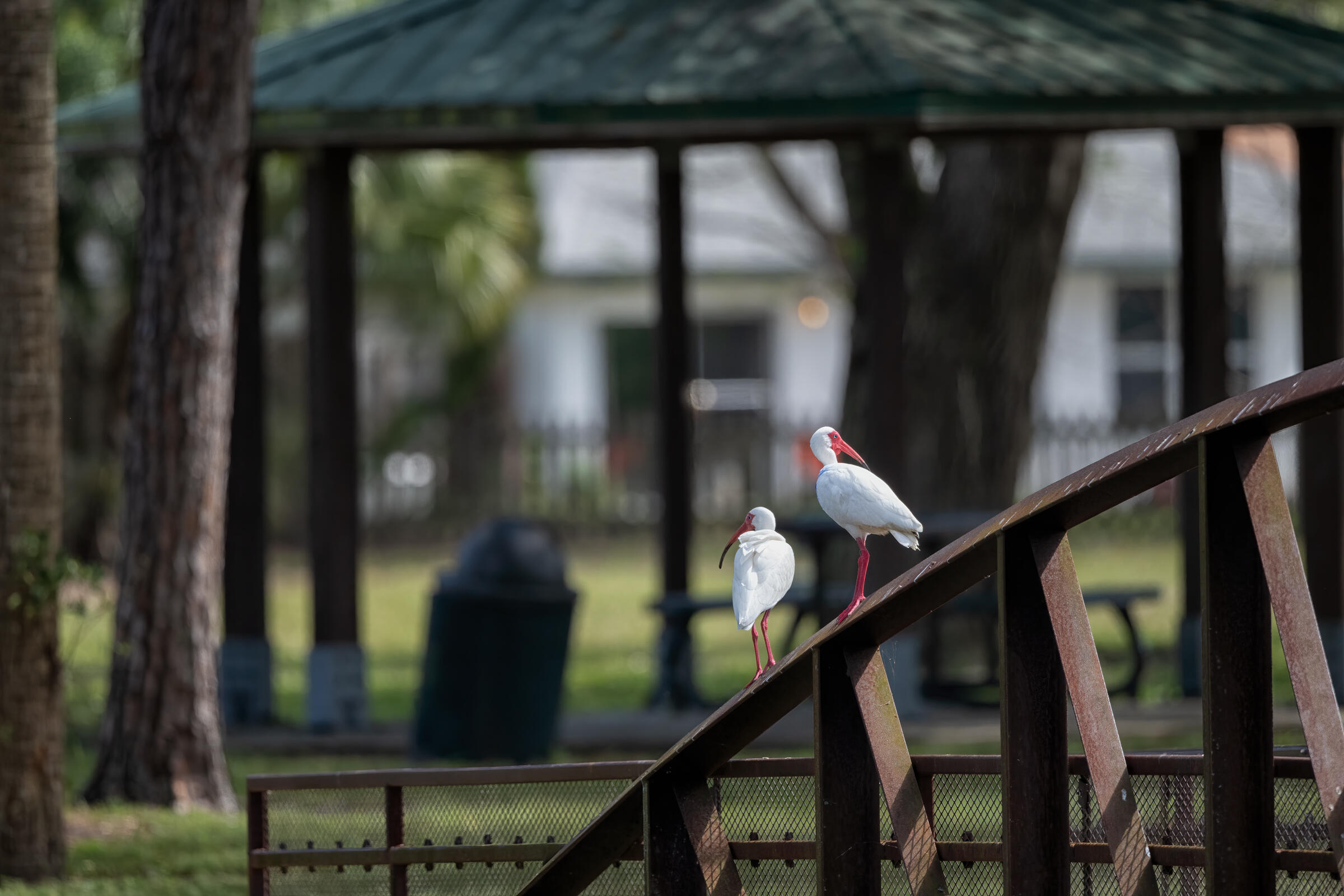Two White Ibises, with their backs to the camera and looking in opposite directions, perch on a bridge in a suburban park. A blurry trash can and pavilion are in the background.