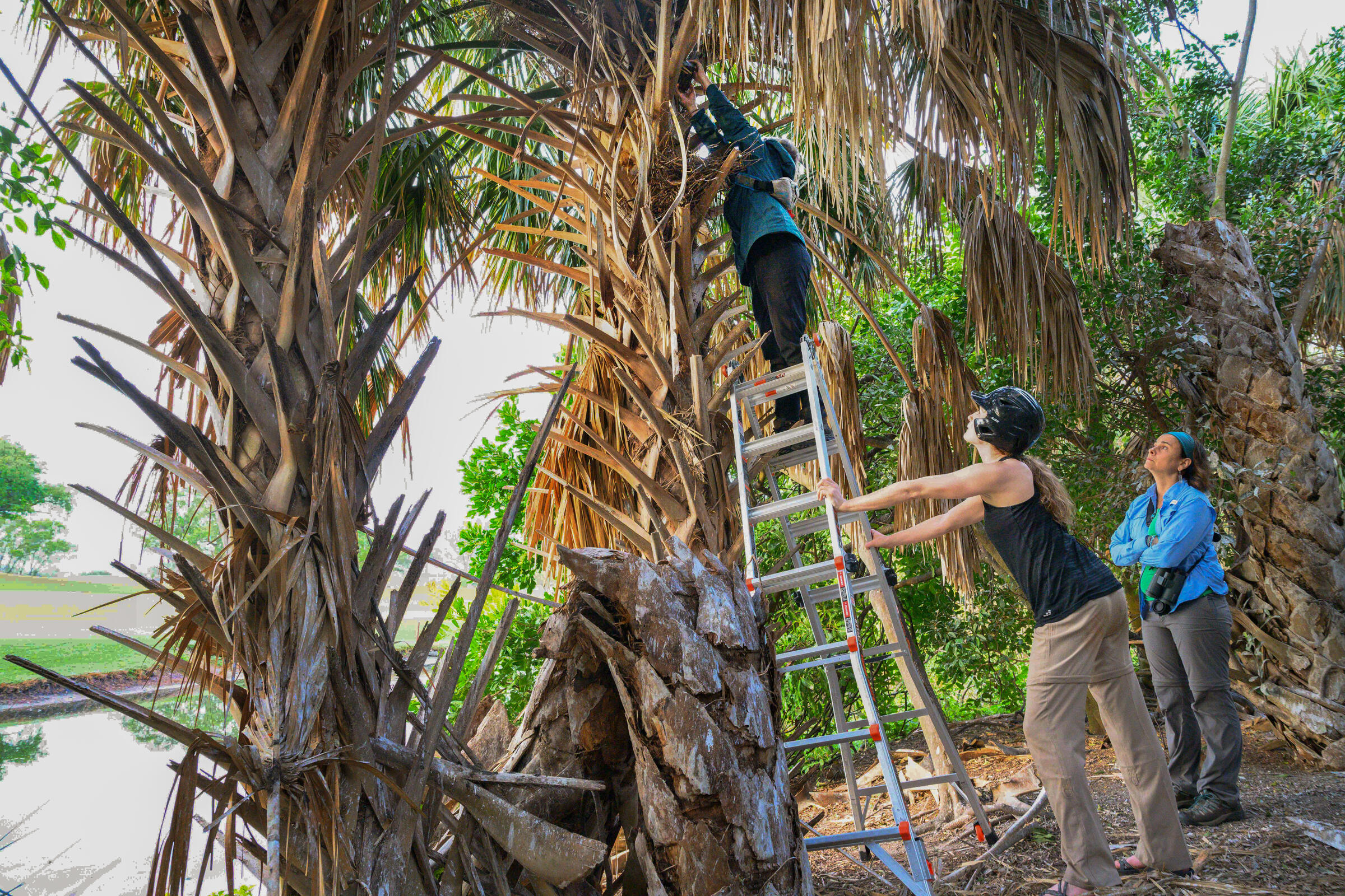 Two women are looking up at a palm tree, and another person is standing on top of a ladder with her hands outstretched above her head towards the tree. The person holding the ladder is wearing a helmet.