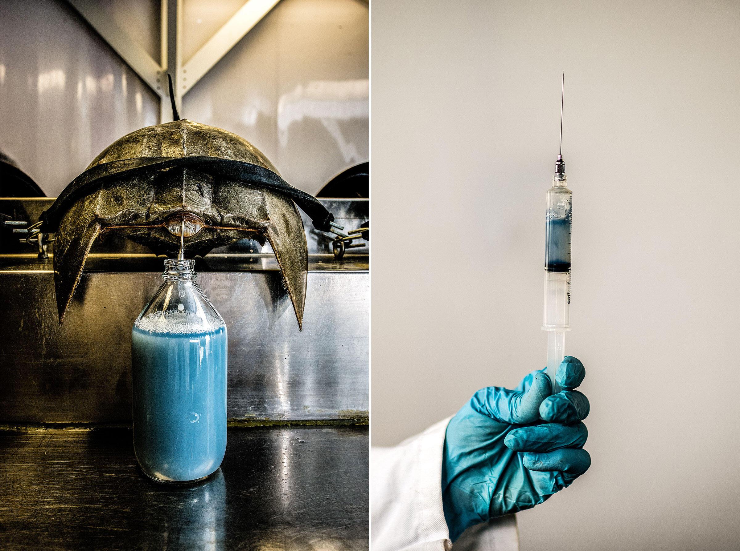 Como se puede ver aquí, Laboratorio Charles River de Charleston, Carolina del Sur, los cangrejos herradura tienen sangre azul. En lugar de hierro, su sangre contiene cobre. A ello se debe su color impactante. Fotografías: Timothy Fadek/Redux