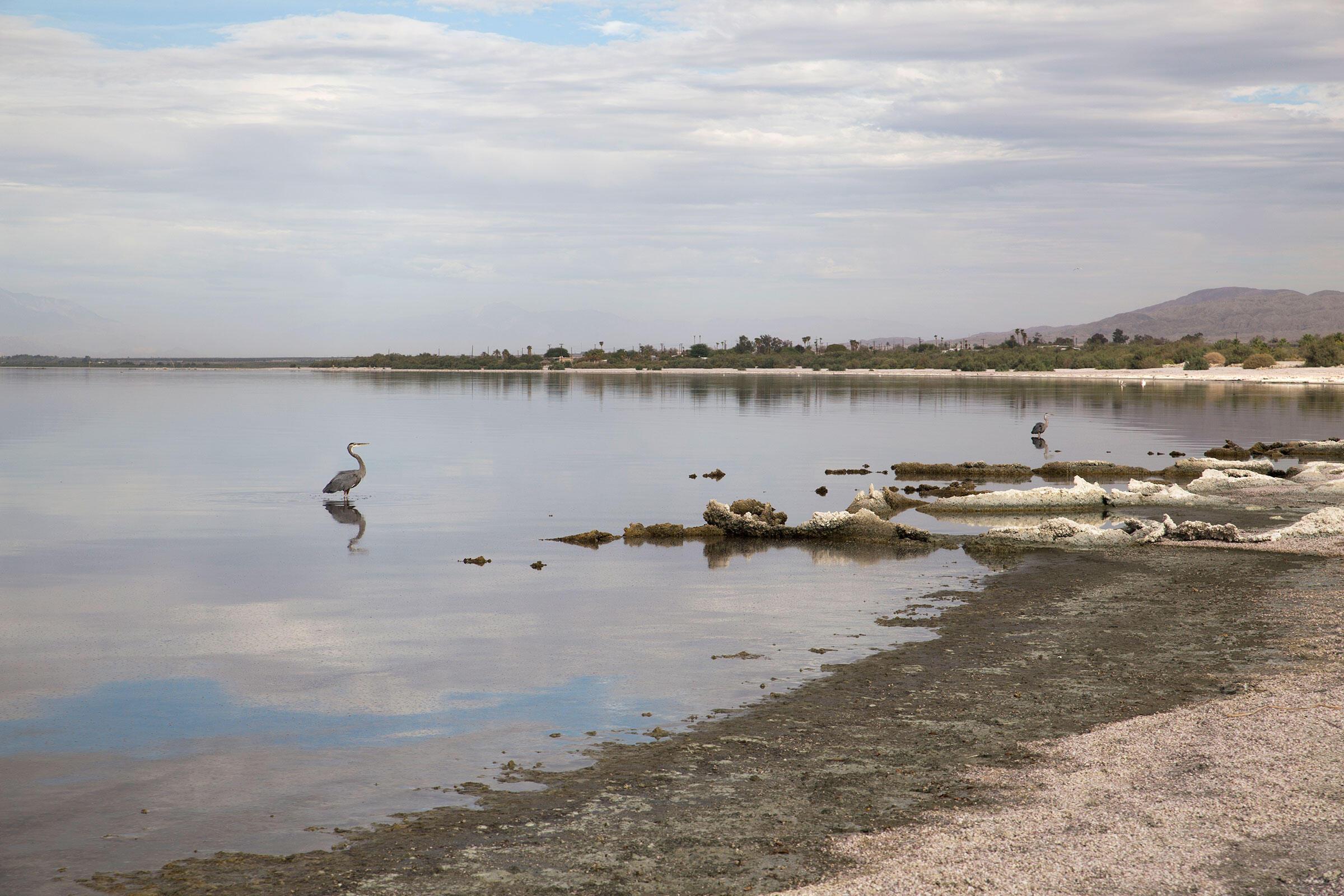 Great Blue Herons in the Salton Sea. Mike Fernandez/Audubon