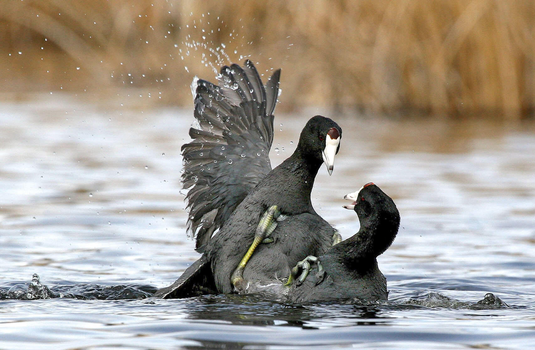 Male coots will use their feet in battles that can sometimes leave opponents injured. Bruce Lyon