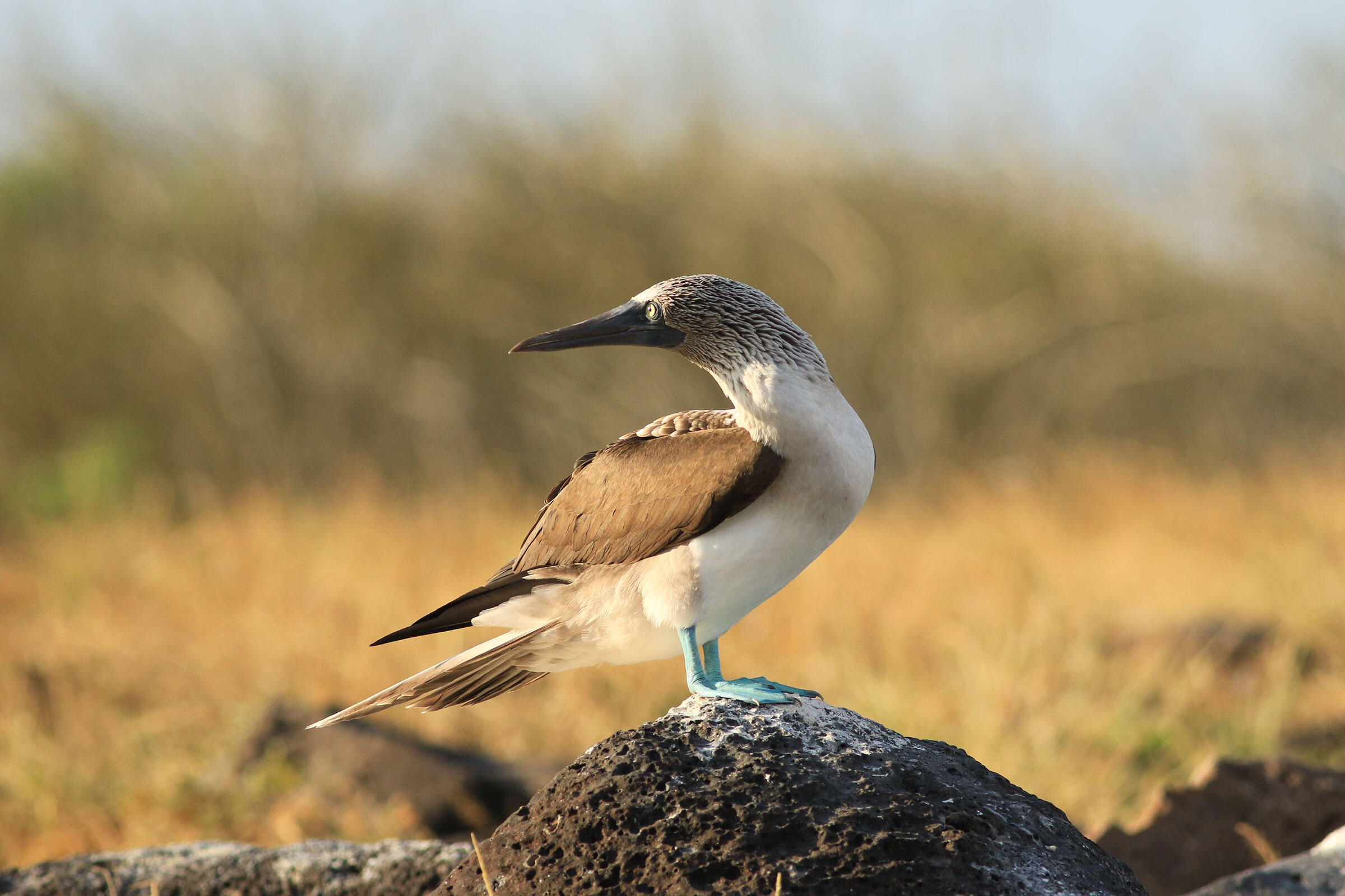 Blue-footed Booby sightings on land at Punta Cevallos are now a rare and exciting occurrence. Jenny Howard