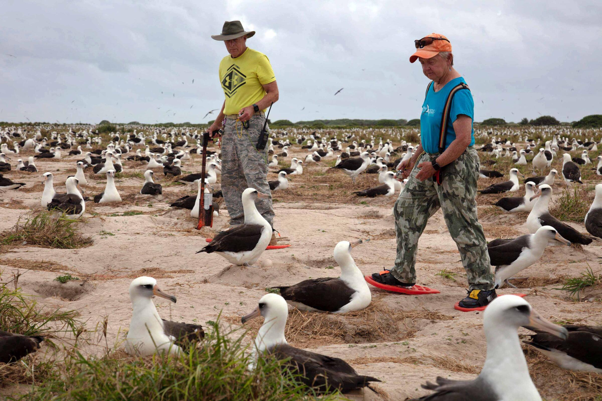 Longtime volunteers Jenny (right) and Richard Johnson carefully and methodically count birds on former Navy parade grounds on Sand Island where Laysan and Black-footed Albatrosses breed. Jon Brack/USFWS