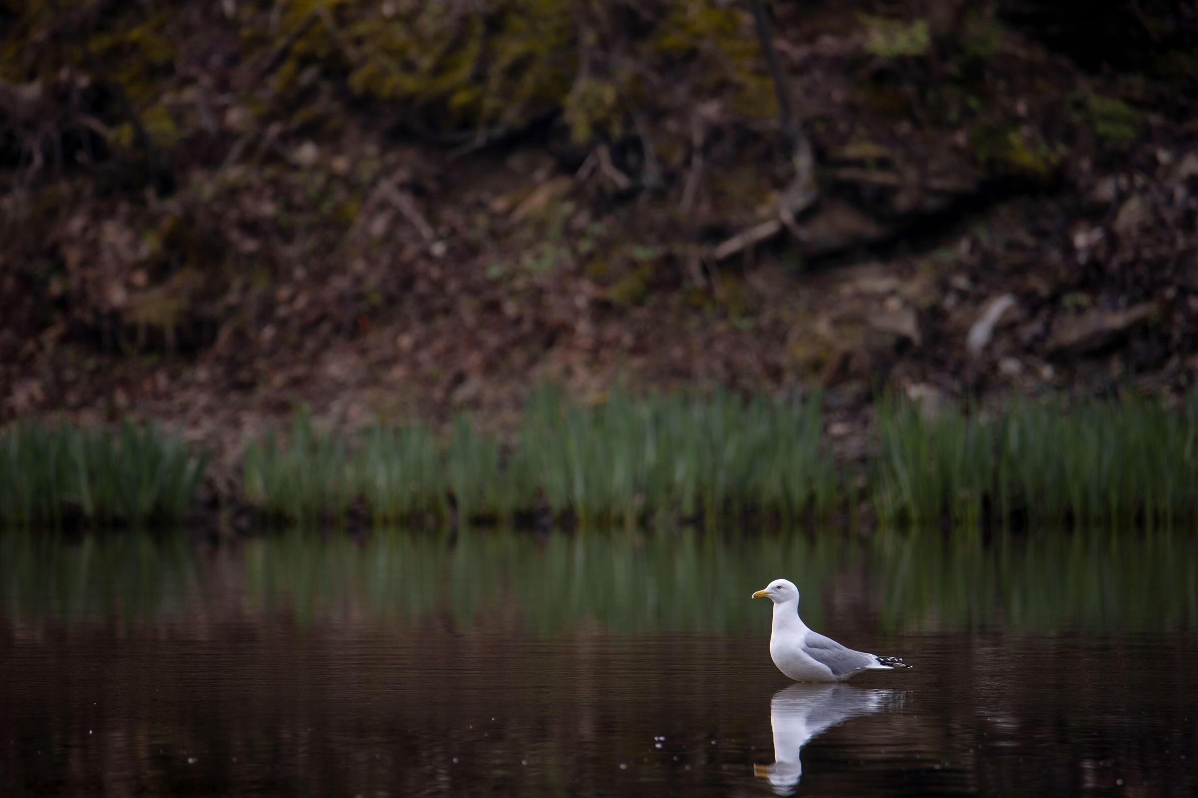 Herring Gull. Karthika Gopalakrishnan, Pittsburgh, PA
