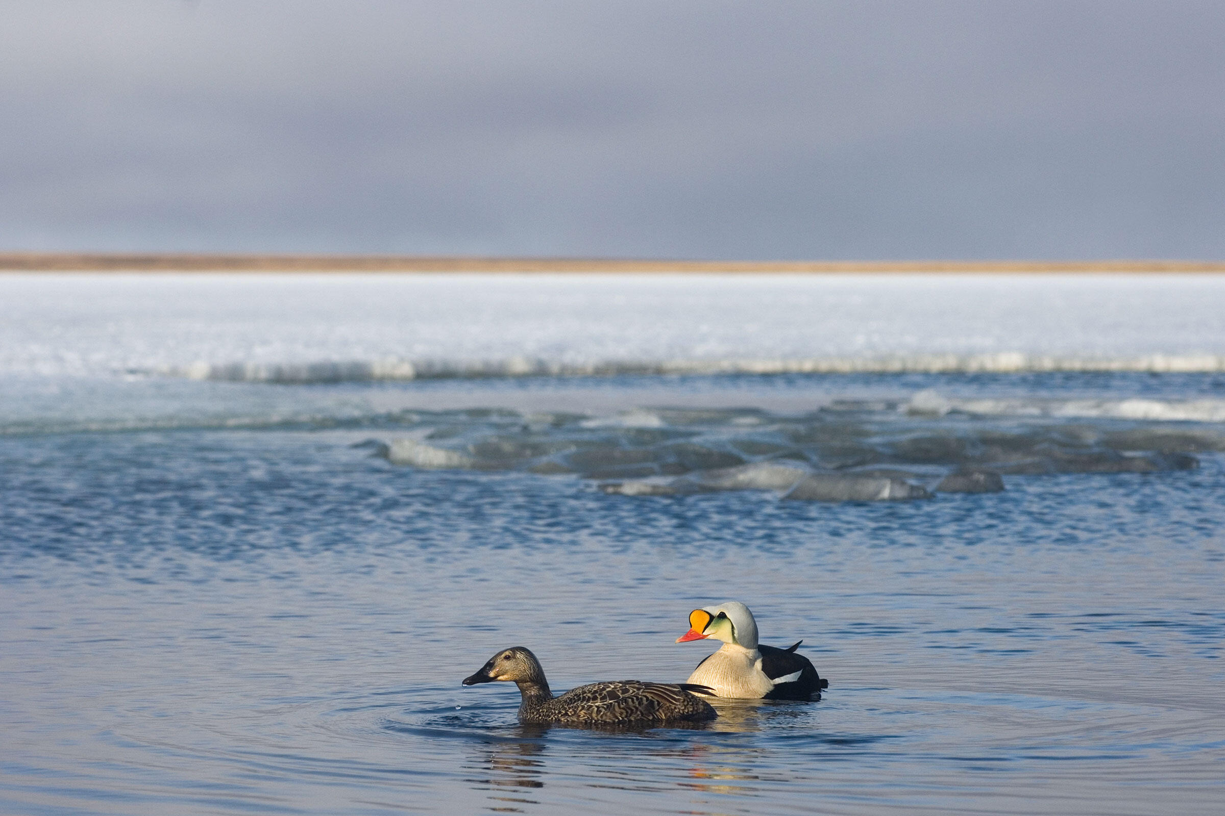 Efforts to expand oil drilling in the National Petroleum Reserve-Alaska could degrade habitat for King Eiders and other wildlife. Steven J. Kazlowski/Alamy