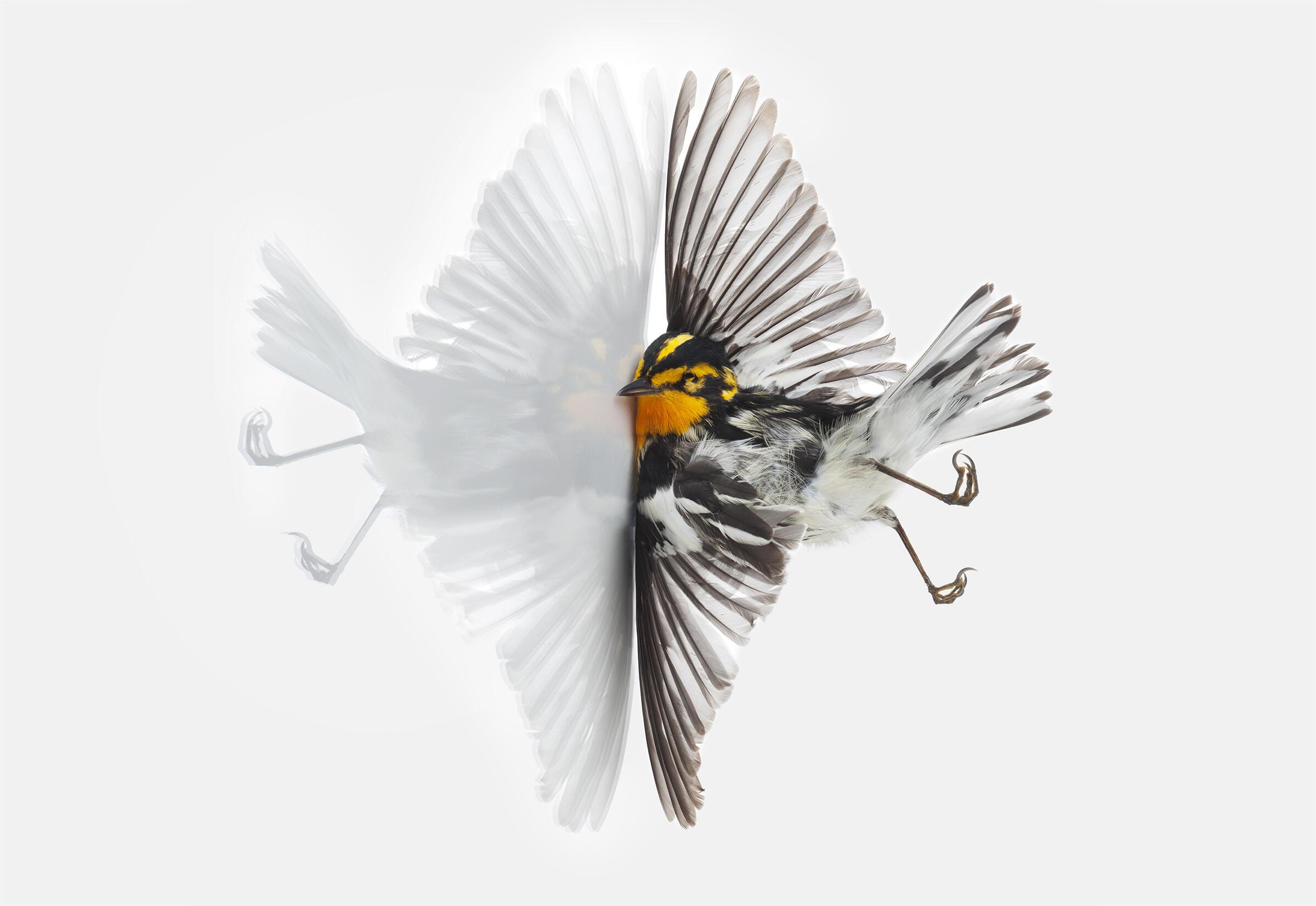 Blackburnian Warbler. Miranda Brandon