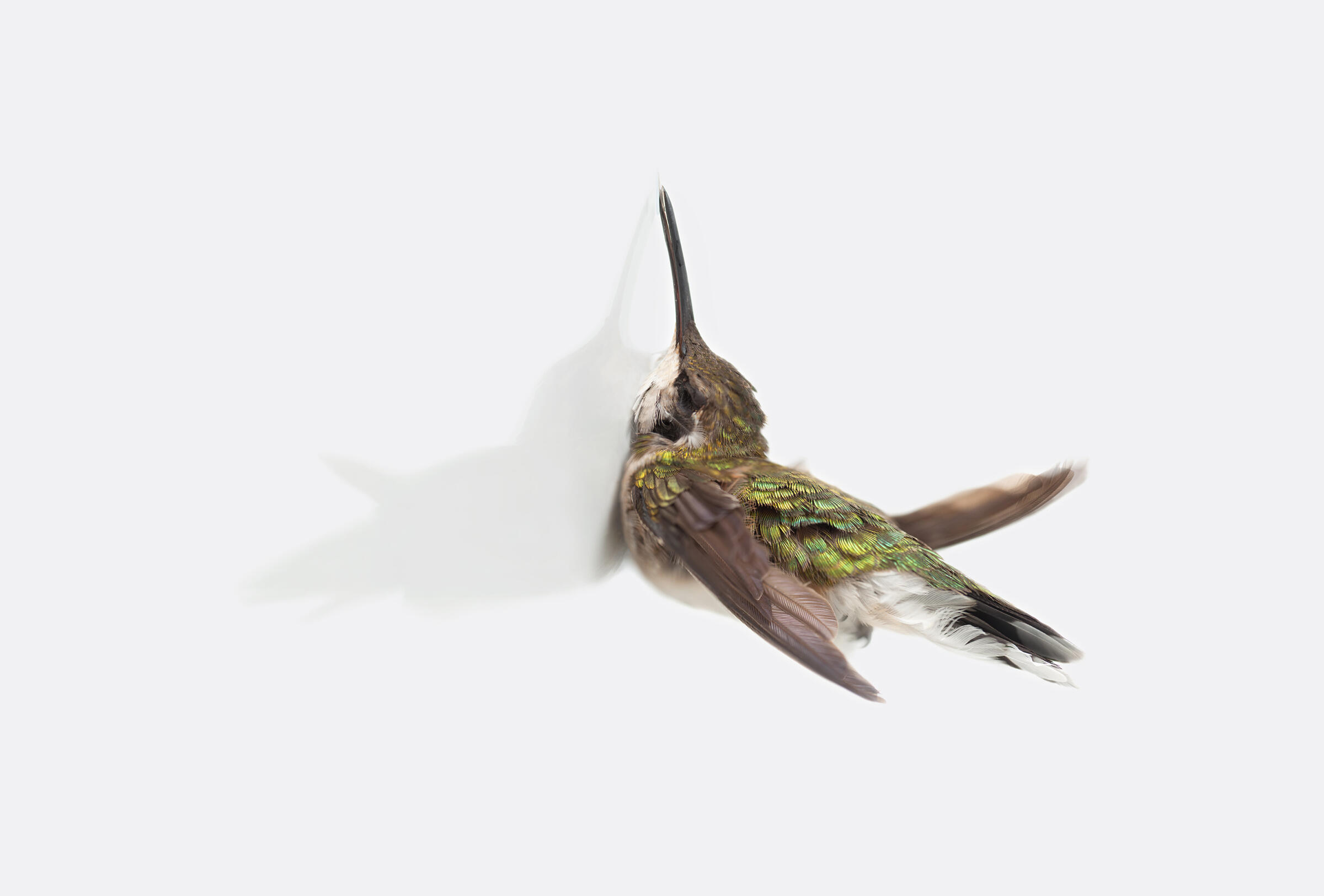 Ruby-throated Hummingbird. Miranda Brandon