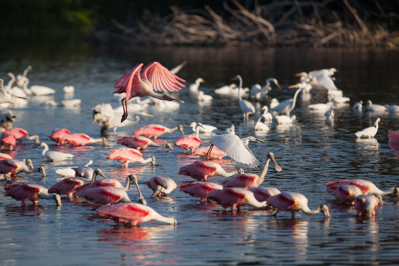 Wading birds forage in freshwater ponds in the Everglades. Mac Stone