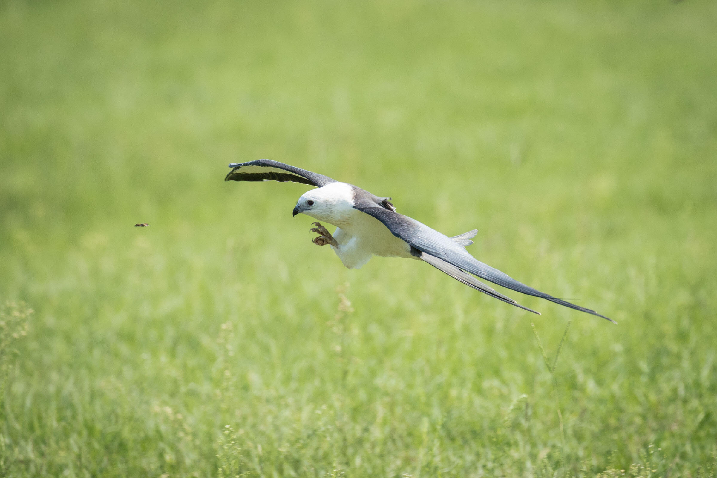 A Swallow-tailed Kite steadies for impact with a flying insect in an agricultural field in central Florida. Mac Stone