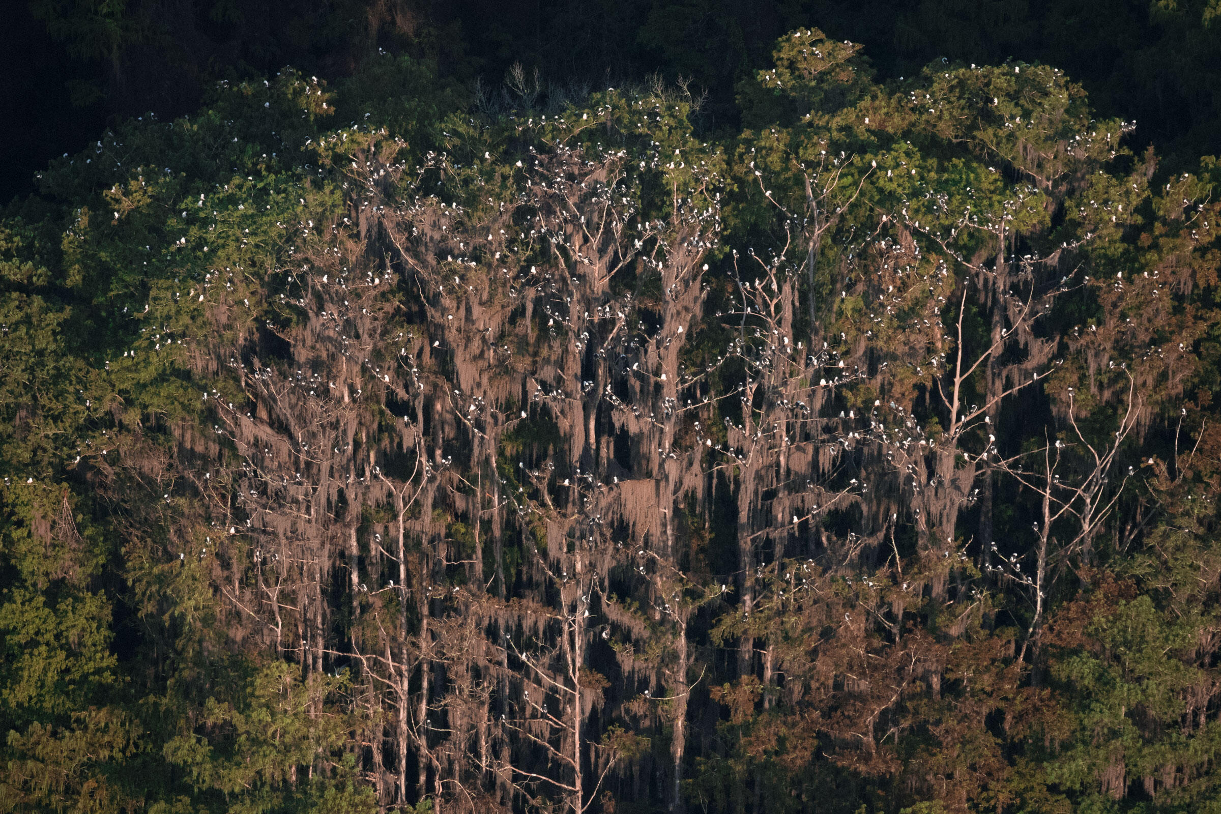 Swallow-tailed Kite's roost in a cypress dome near Florida's Lake Okeechobee. Mac Stone