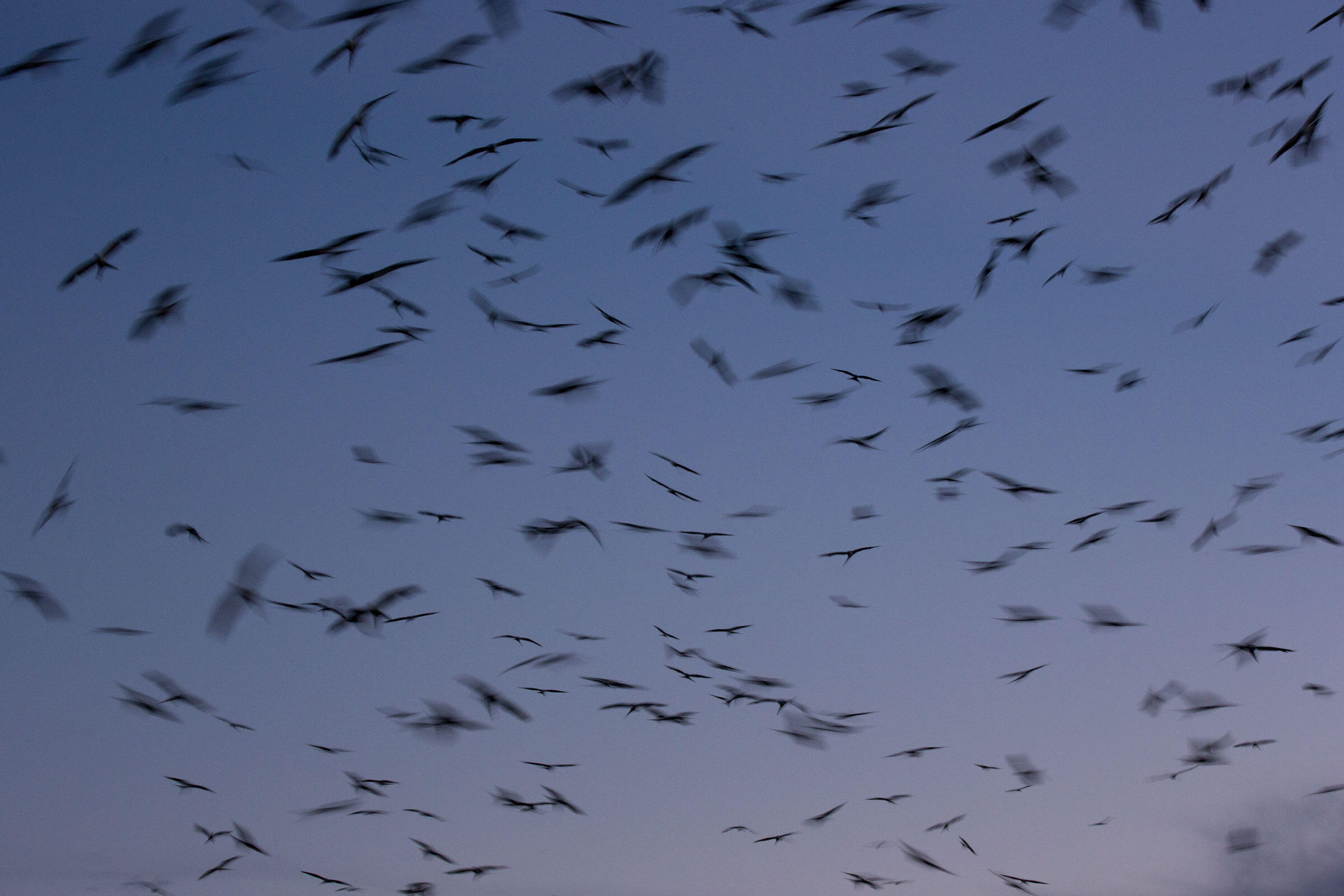 Before settling in for the night, kites fill the sky with swirling silhouettes. Mac Stone