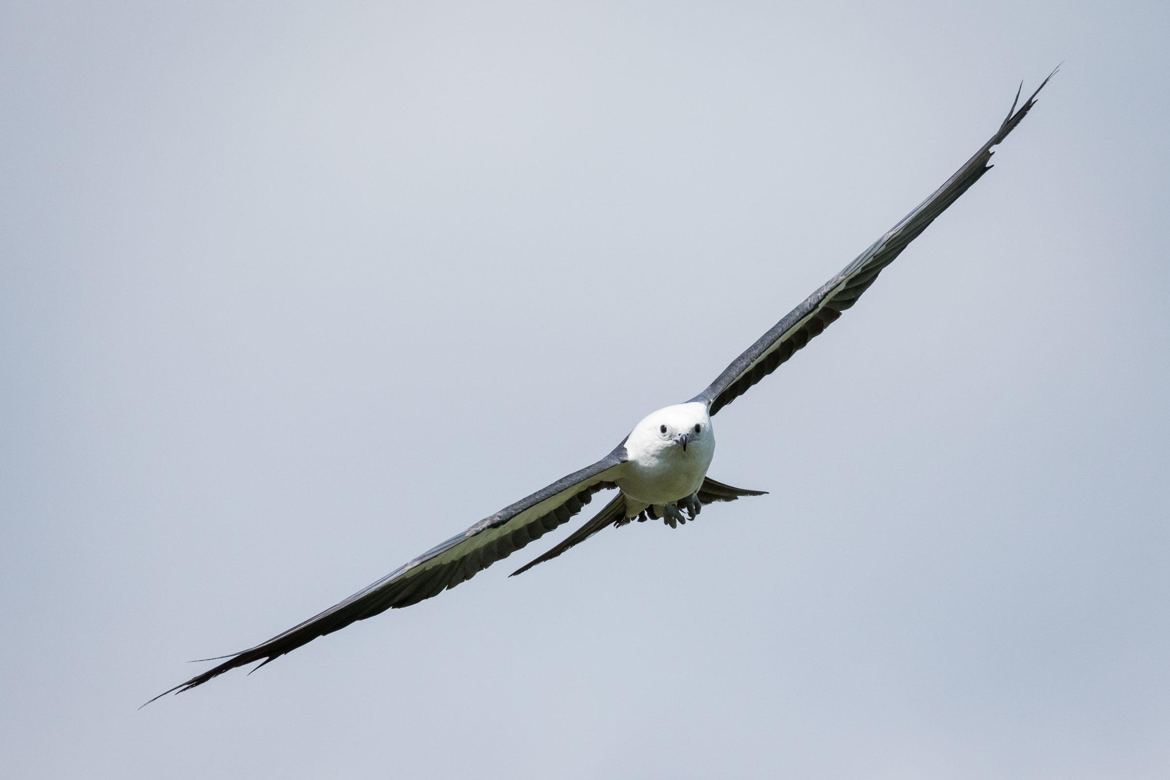 Swallow-tailed Kites hunt, bathe, and drink on the wing. Mac Stone