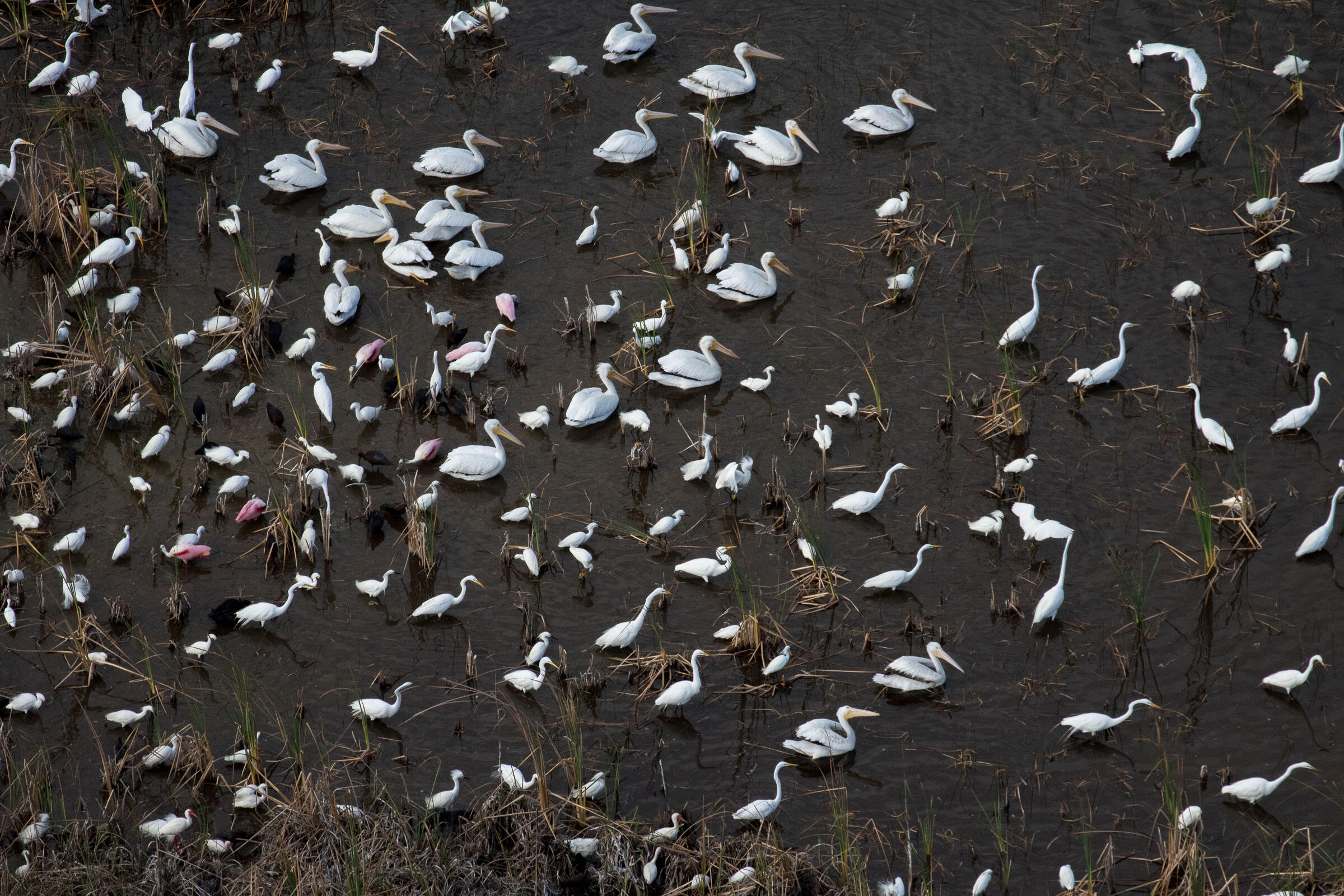 In the Water Conservation Area of the central Everglades, hundreds of wading birds including Roseate Spoonbills and American White Pelicans forage during nesting season. Mac Stone