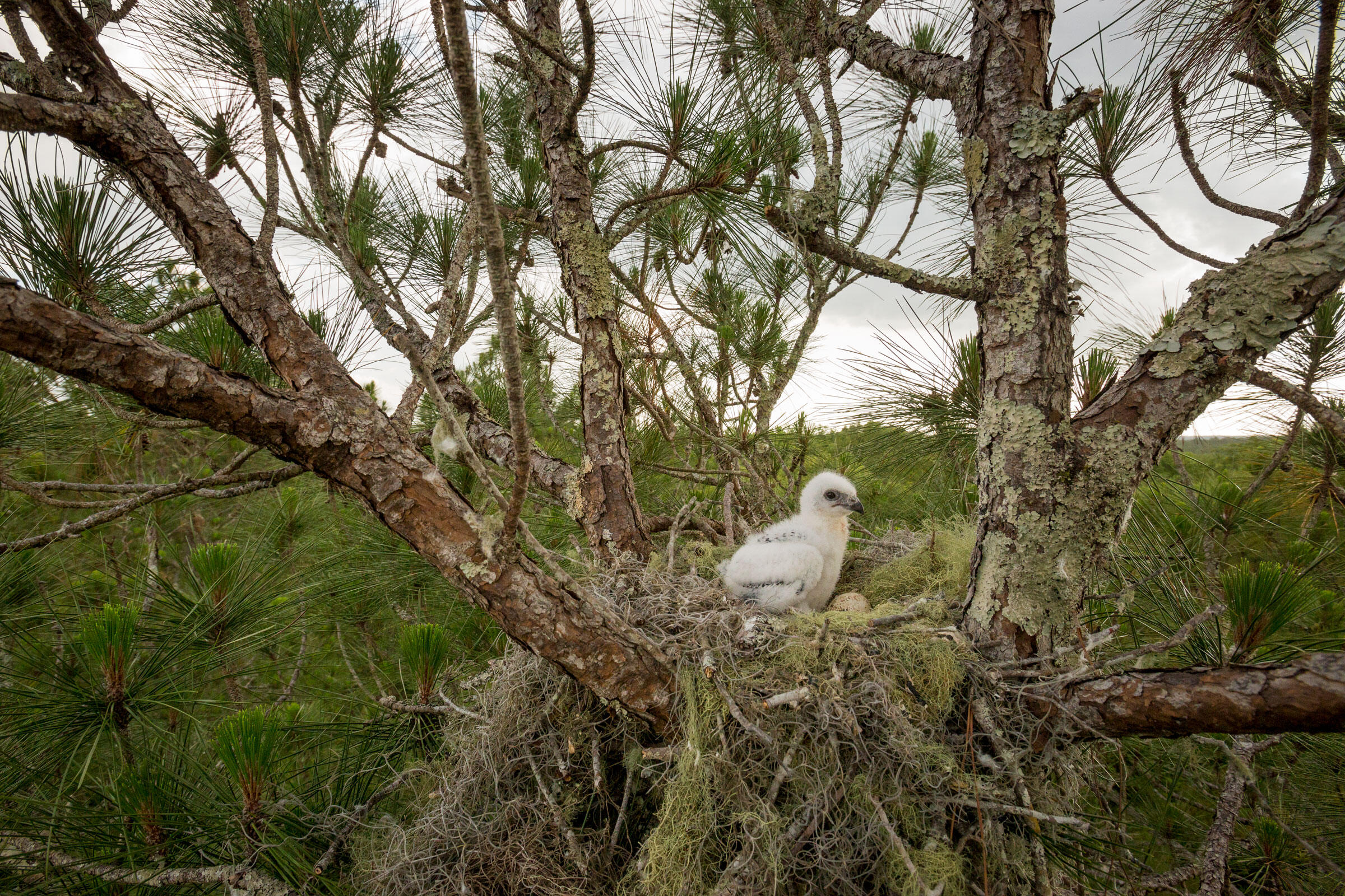 A chick, roughly 15 days old, waits for its parents to return with breakfast, sitting next to its unhatched sibling in Withlacoochie State Forest, Florida. Mac Stone