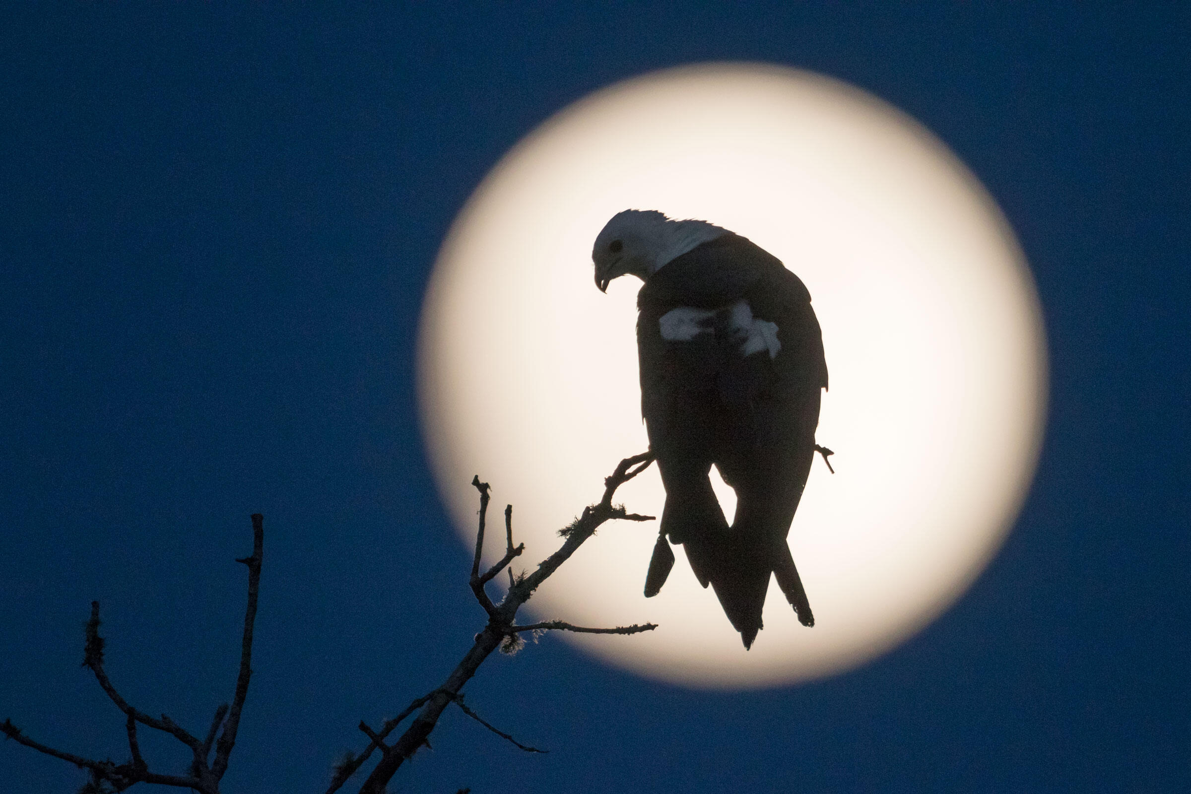 A Swallow-tailed Kite is silhouetted against the full moon on Fisheating Creek, Everglades. Mac Stone