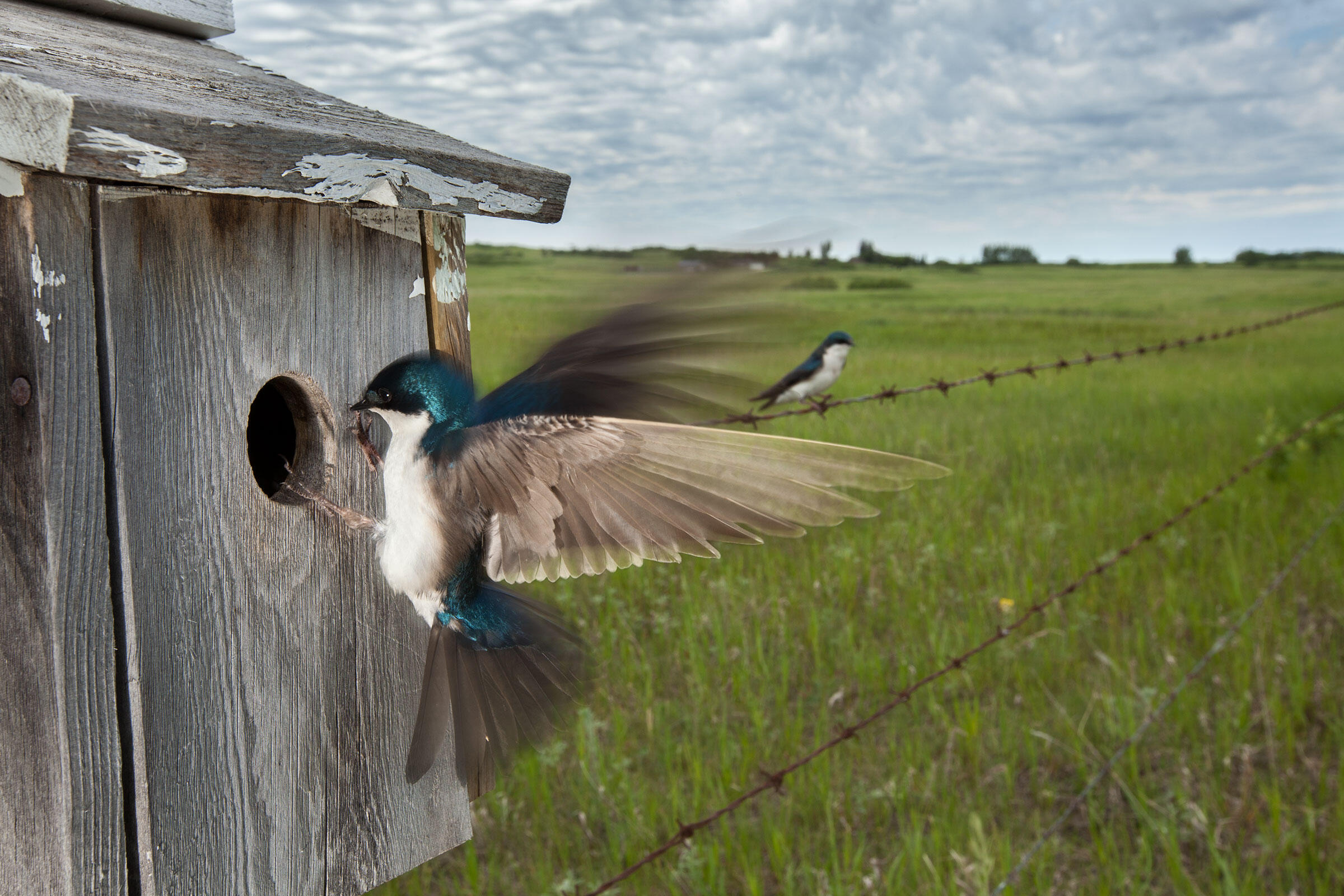 A Tree Swallow enters one of the nest boxes monitored by Morrissey's team, while its mate perches on a nearby barbed-wire fence. Connor Stefanison
