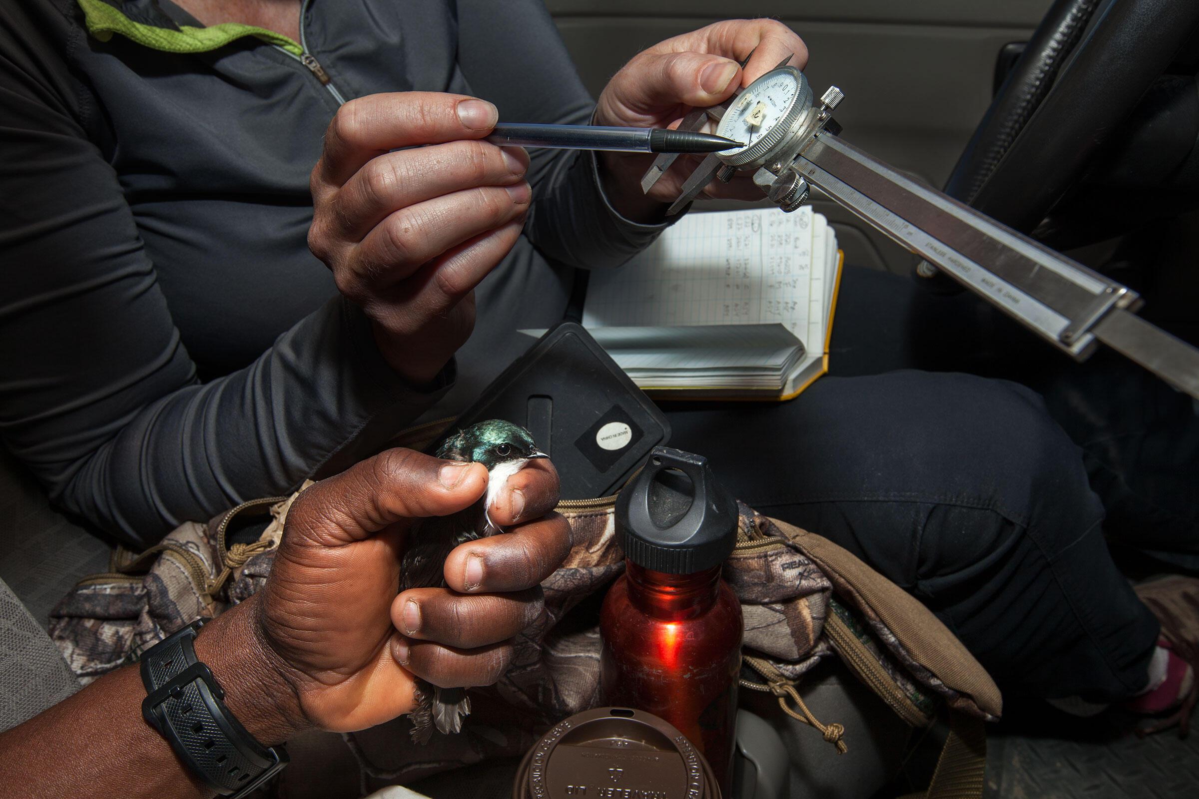 Morrissey teaches Bagonluri how to measure swallows using a caliper. Connor Stefanison
