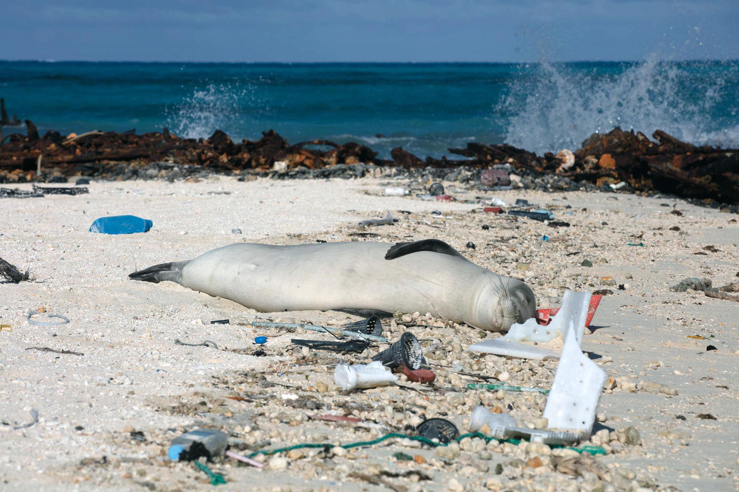 A critically endangered Hawaiian monk seal sleeps amid marine debris. Jon Brack/USFWS