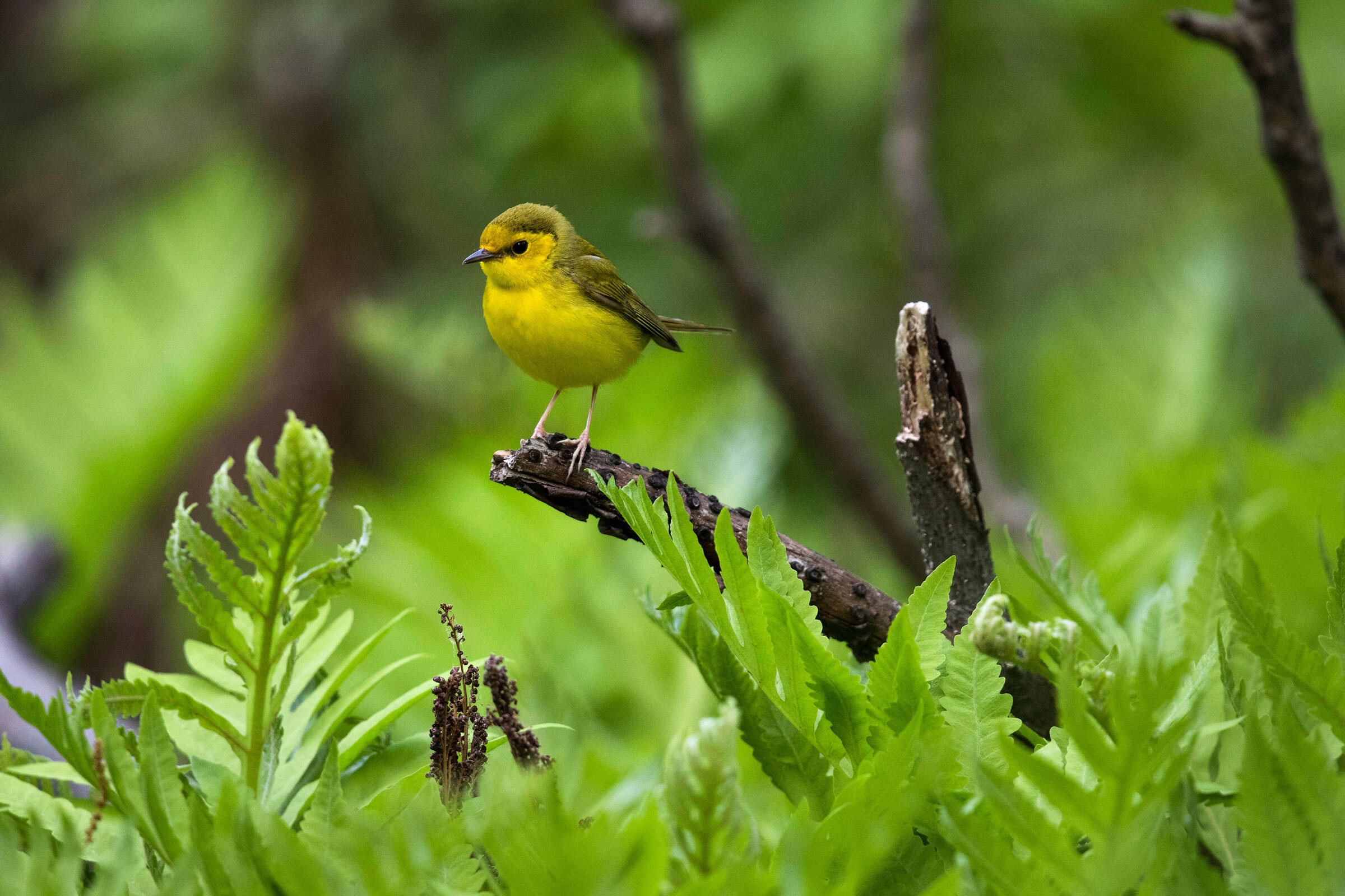 Hooded Warblers are among the many warbler species that take a pit stop in Central Park during spring migration. Francois Portmann