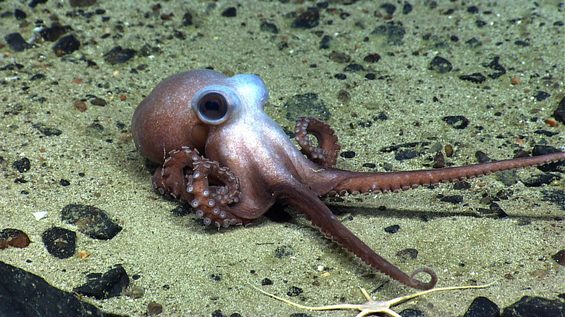 An octopus stretches its tentacles on Physalia Seamount. This animal is a predator like all octopus and squid species, and feeds on fish and invertebrates on the seamount. NOAA Okeanos Explorer Program, 2013 Northeast U.S. Canyons Expedition Science Team