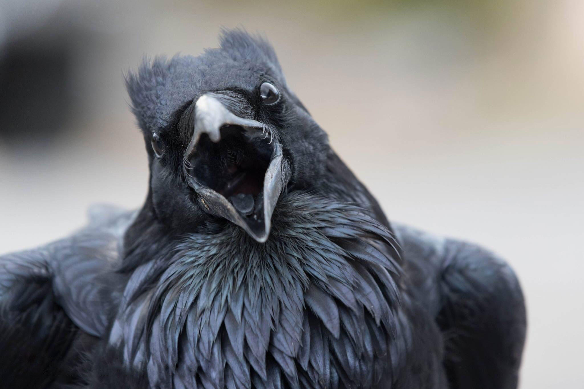 Common Raven. Sue Dougherty/Audubon Photography Awards
