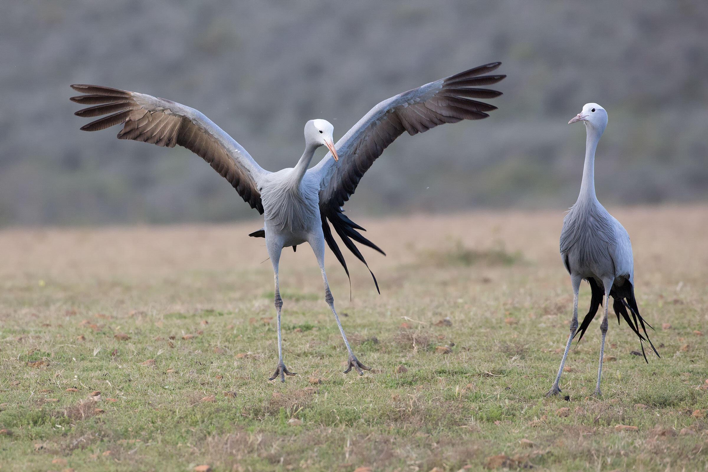 Blue Cranes. Nate Chappell/Audubon Photography Awards