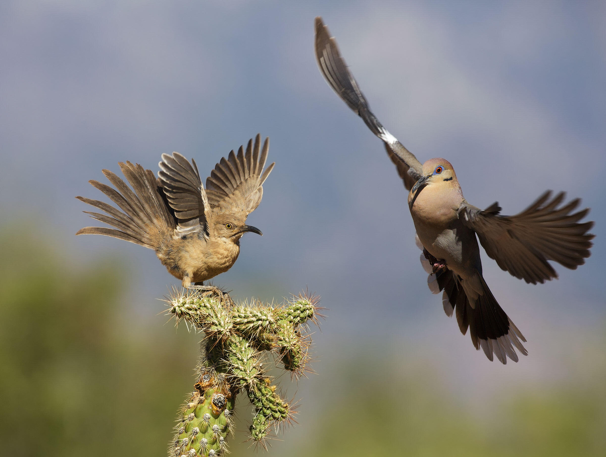 Curve-billed Thrasher and White-winged Dove. Nate Chappell/Audubon Photography Awards