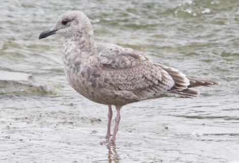 Iceland Gull. Mike Cameron/Christmas Bird Count
