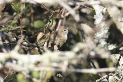 Bell's Vireo Bob Friedrich/Christmas Bird Count
