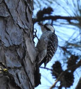 Red-cockaded Woodpecker David Vickers/Christmas Bird Count