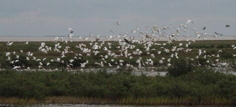 Near record numbers of several species of waterbirds were reported this season.