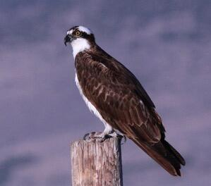Near record numbers of Ospreys lingered on 72 CBCs.