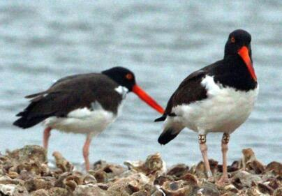 American Oystercatchers occurred in below average numbers on 15 CBCs. Dora Ann Ortego/Christmas Bird Count
