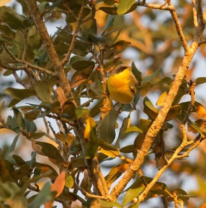 Tropical Parula. Michael Stewart/Christmas Bird Count