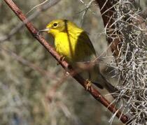 Pine Warbler. Dora Ann Ortego/Christmas Bird Count