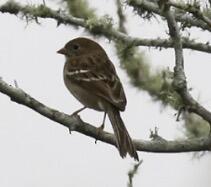 Field Sparrow. Bonnie de Grood/Christmas Bird Count