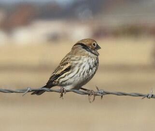 Vesper Sparrow. Tom Johnson/Christmas Bird Count