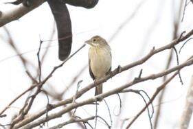 Dickcissel. Bob Friedrich/Christmas Bird Count
