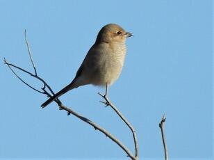 Northern Shrike. Connie Fordham/Christmas Bird Count