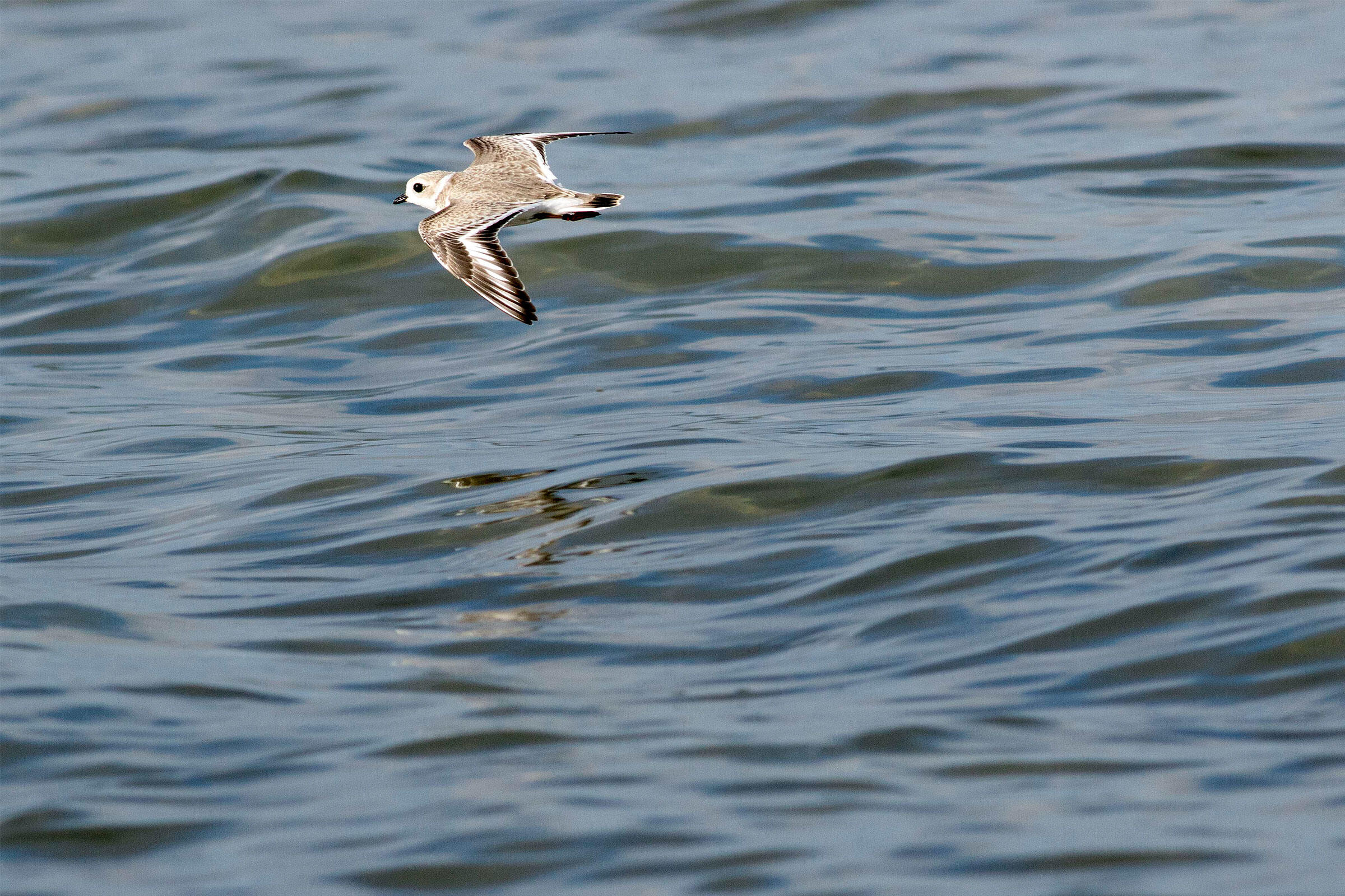 Once a Piping Plover can fly 50 meters on its own, conservationists declare it successfully fledged. Mark Peck