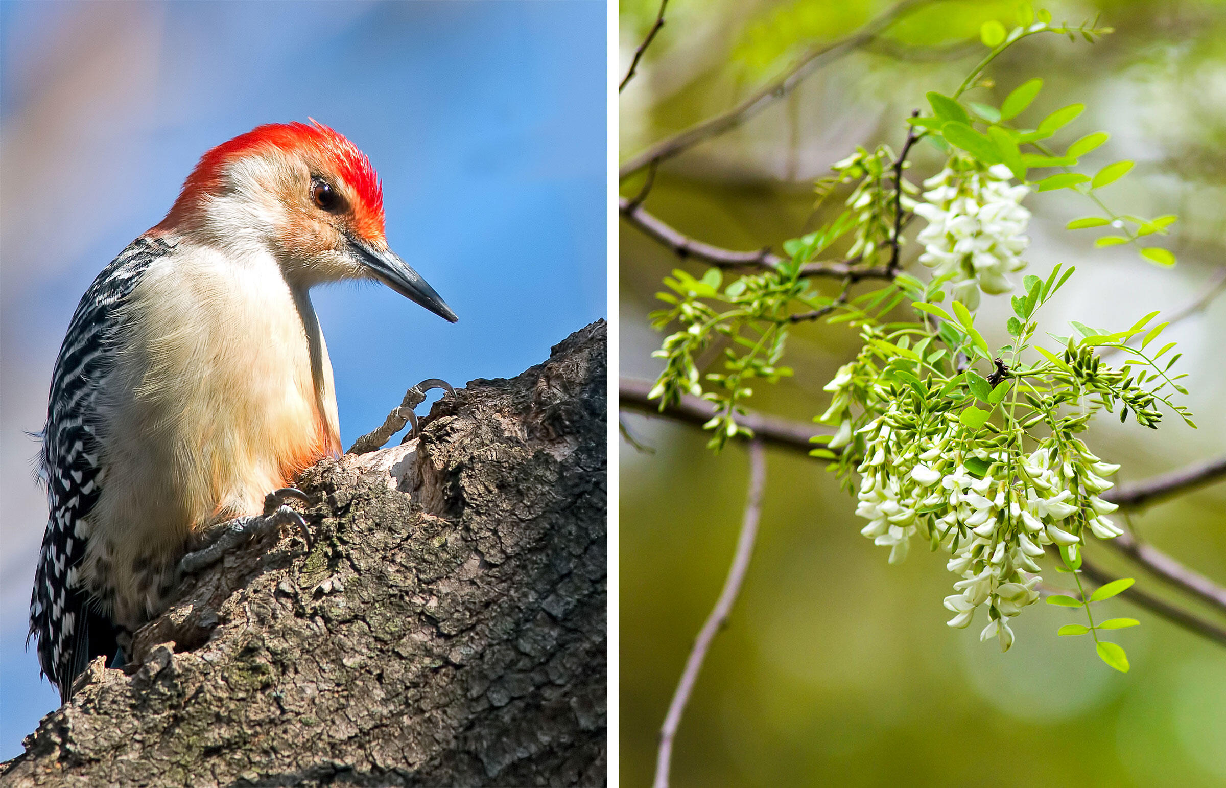 From left: Red-bellied Woodpecker. Photo: Brian Kushner; Black locust. Photo: Melissa McMasters/Flickr CC (BY 2.0)
