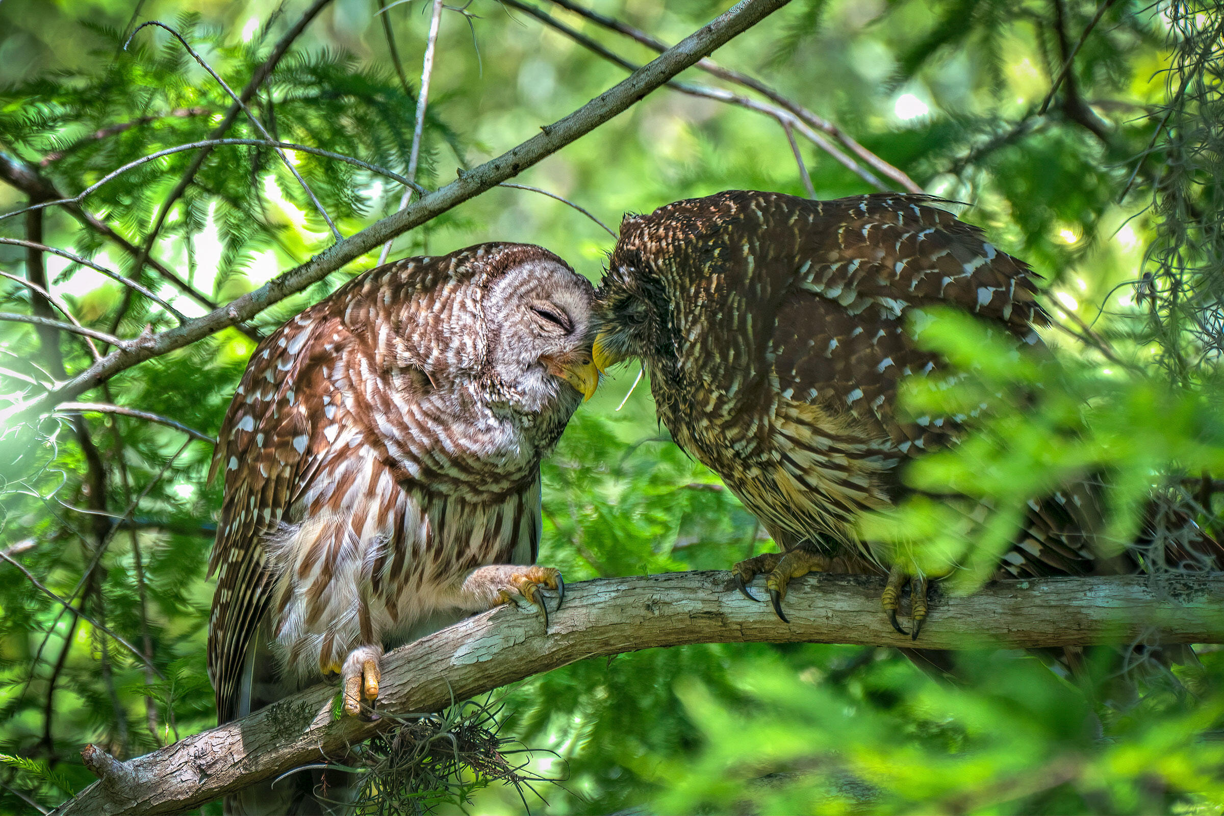 Barred Owls. Sebastian Tongson, Winter Park, FL