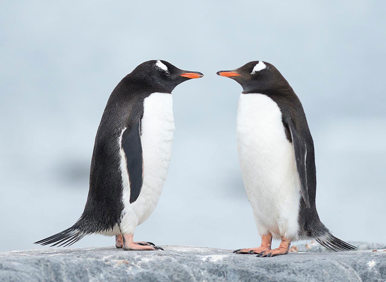 Two Gentoo Penguins have a heart to heart. Christopher Michel @ChrisMichel