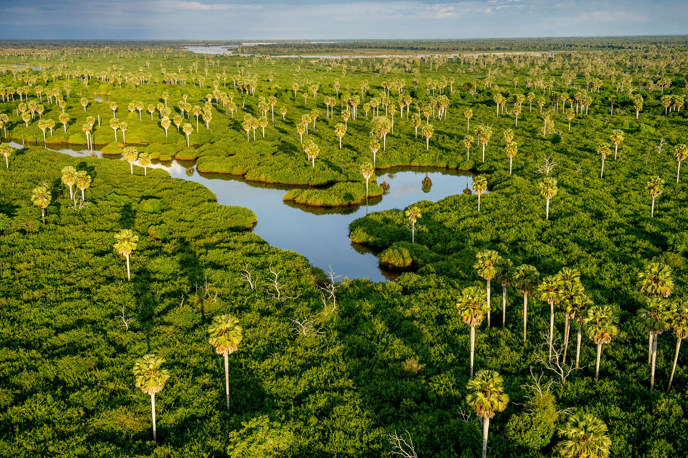 Stately Borassus palms rise from the swamps between the Rufiji River and the northern lakes. Robert J. Ross