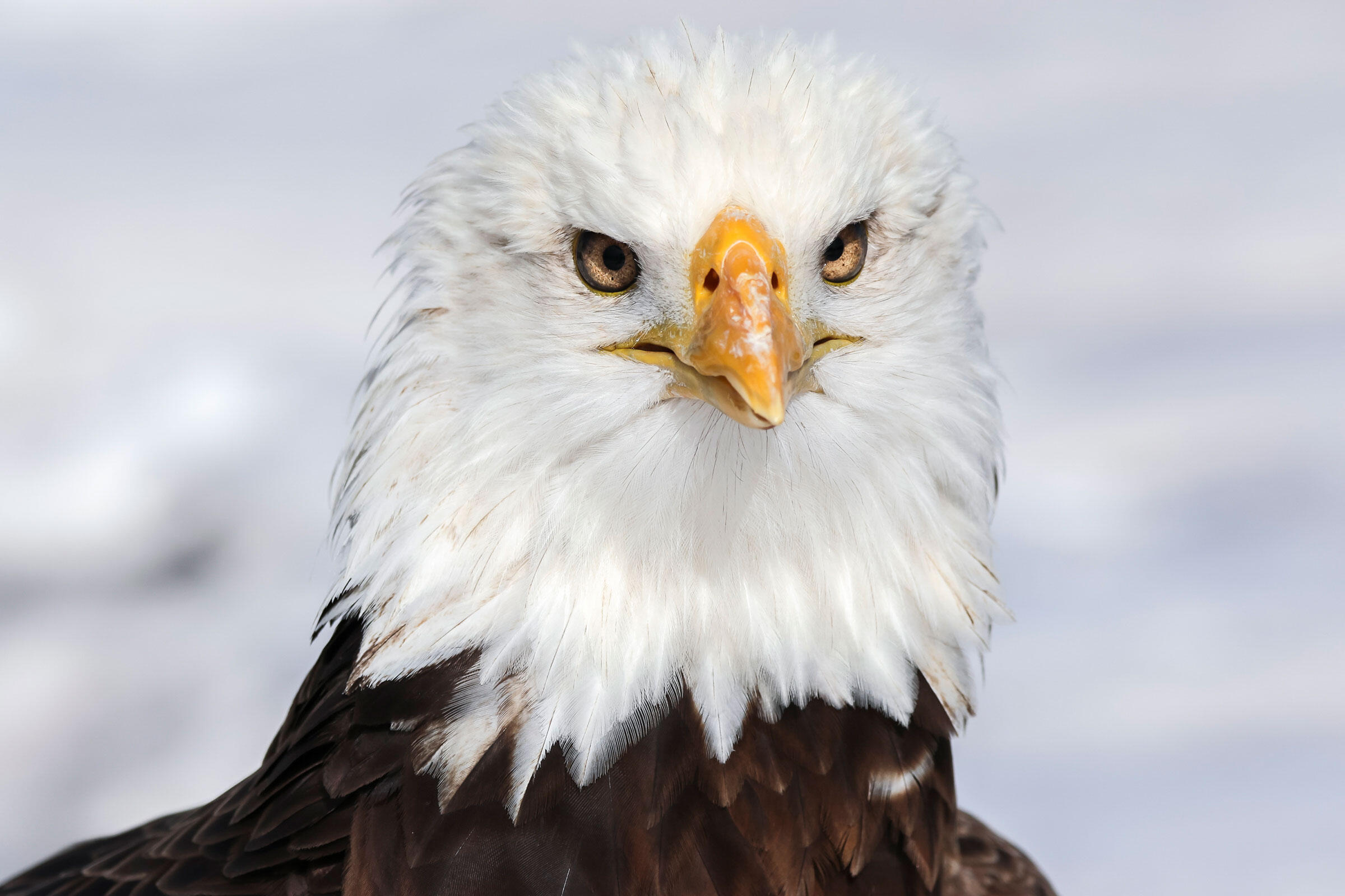 """Spirit, a 20-year-old Bald Eagle at the National Wind Technology Center. <a href=""""https://www.flickr.com/photos/nrel/24704561619/in/album-72157664341321922/"""">Lee Jay Fingersh/NREL</a>/Flickr CC (BY-NC-ND 2.0)"""