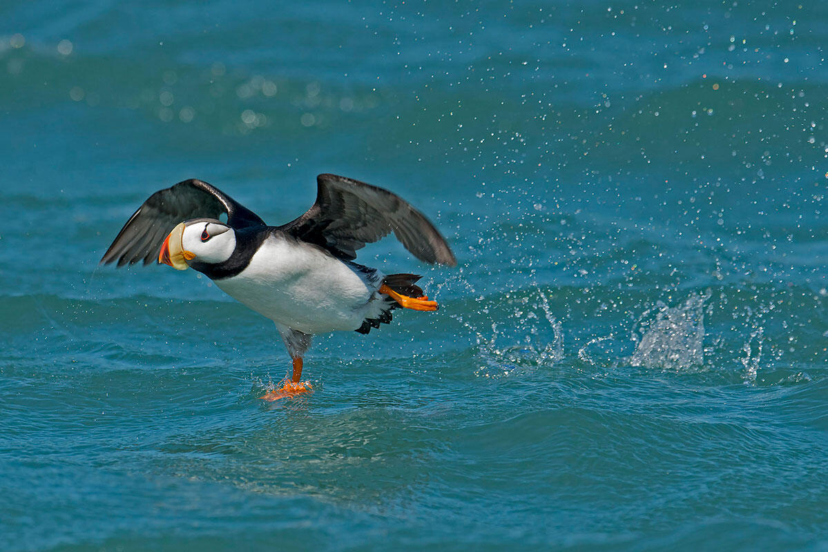 Horned Puffin/Professional Category. Aaron Baggenstos/Audubon Photography Awards