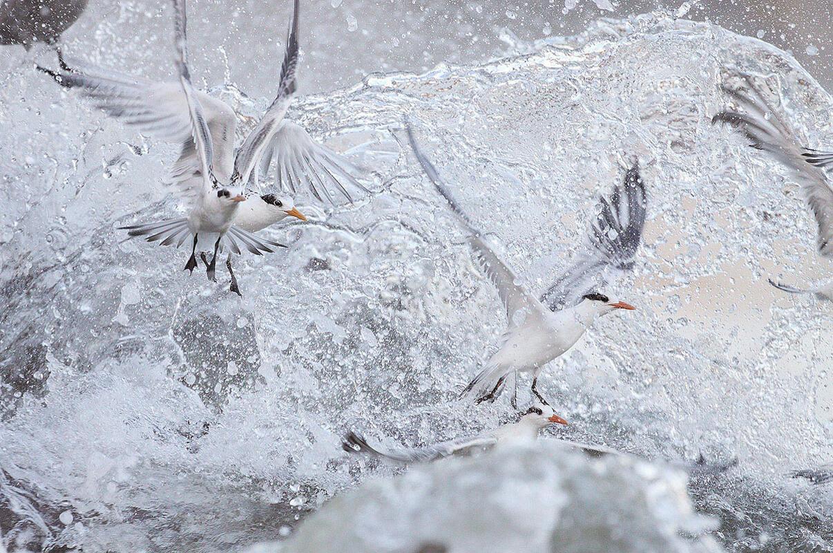 Elegant Tern/Amateur Category. Aidan Briggs/Audubon Photography Awards