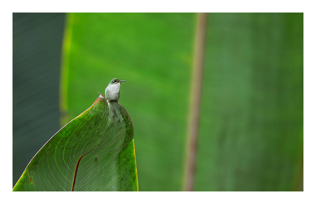Booted Racket-tail/Amateur Category. Amy Marques/Audubon Photography Awards, Professional Category